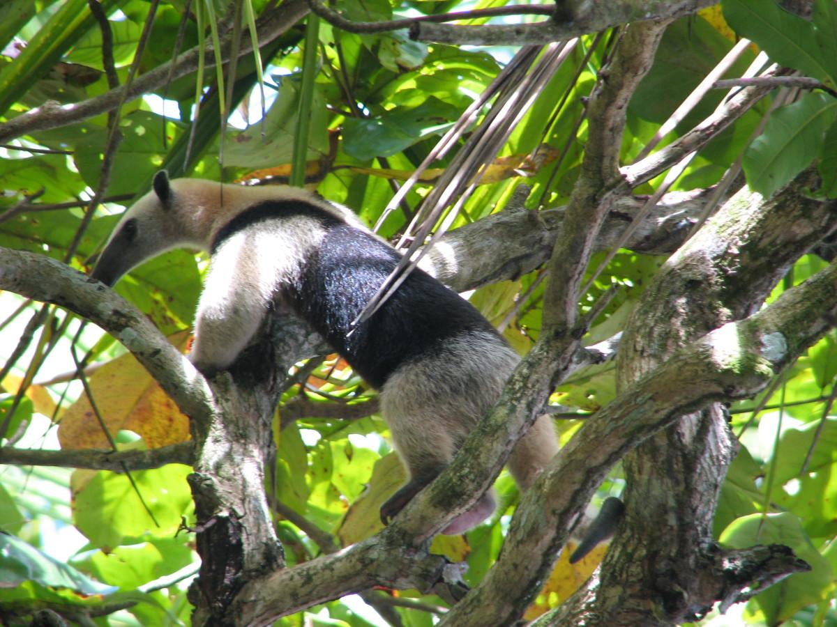 Tamandua anteater