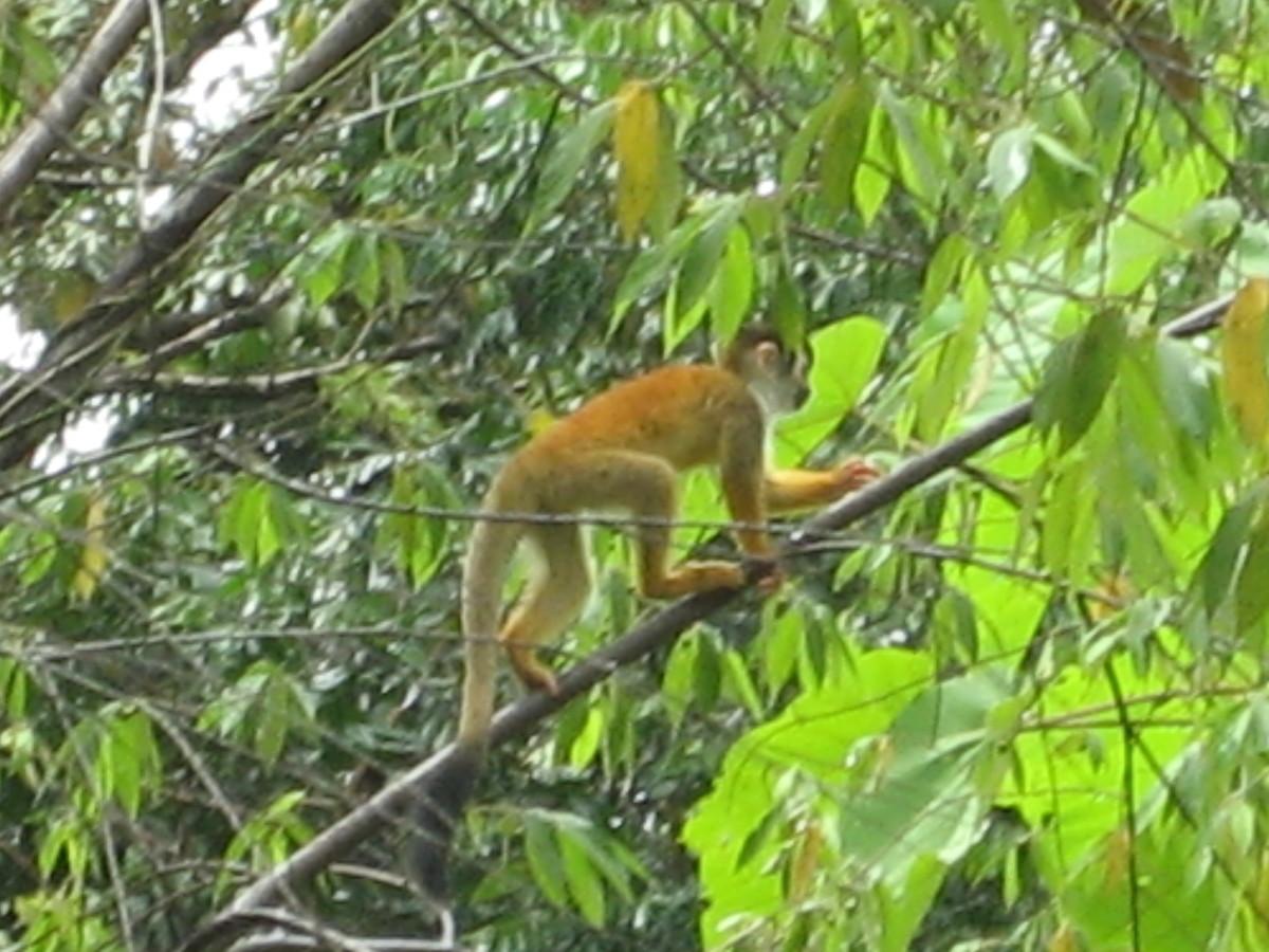 Endangered squirrel monkey