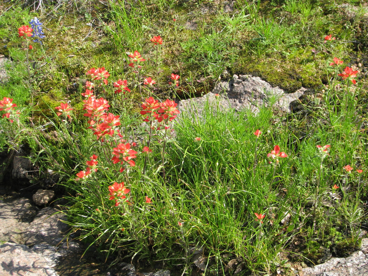 Indian Paintbrush (Castilleja)is the large orange flower which often grows with bluebonnets. It is semiparasidic on grasses and forbs, so you always find it growing in grass.  Indians used it to make a hair wash, and some ate the leaves in salads.