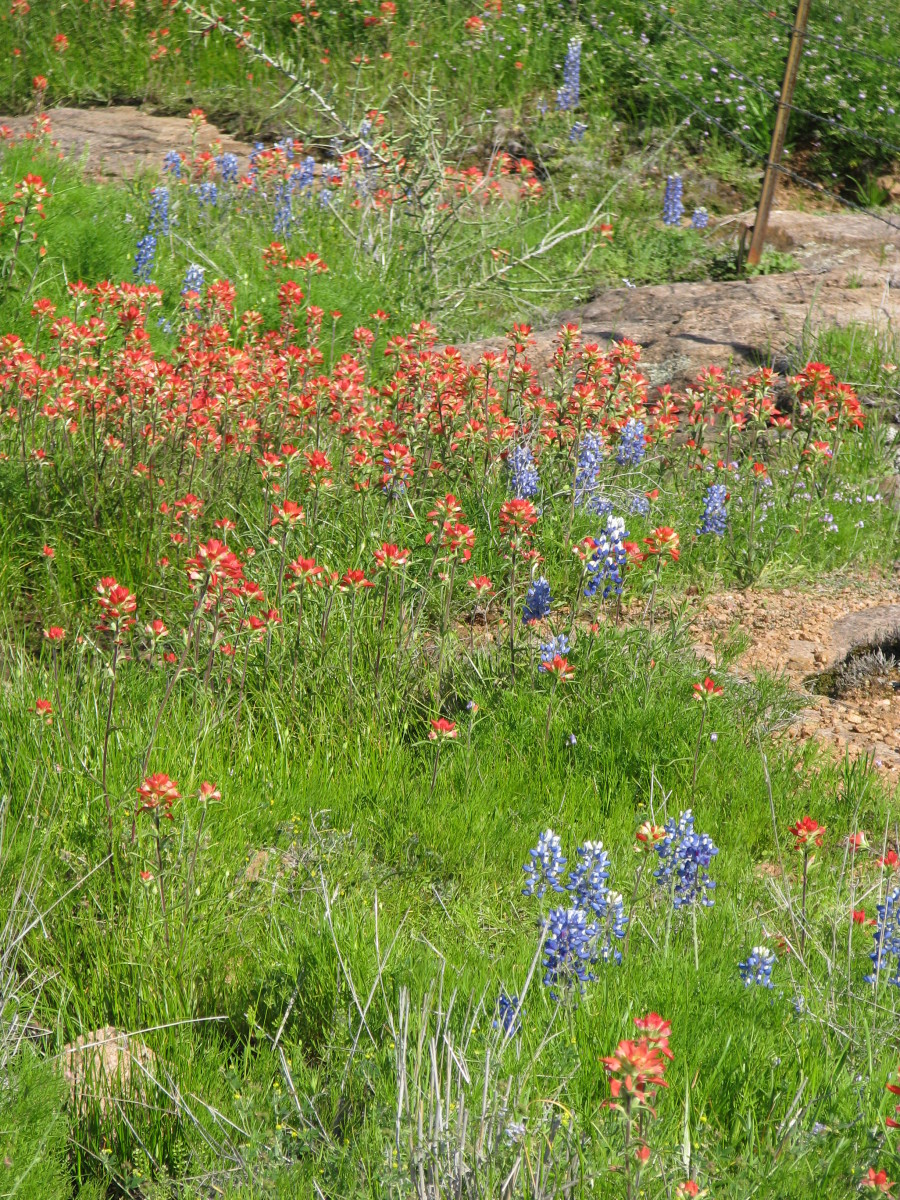 Indian Paintbrush with bluebonnets.