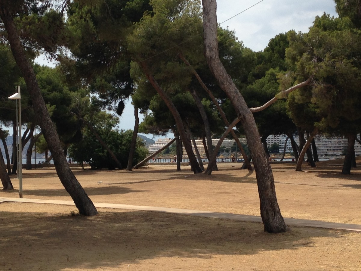 The pine trees at the back of Santa Ponça beach.