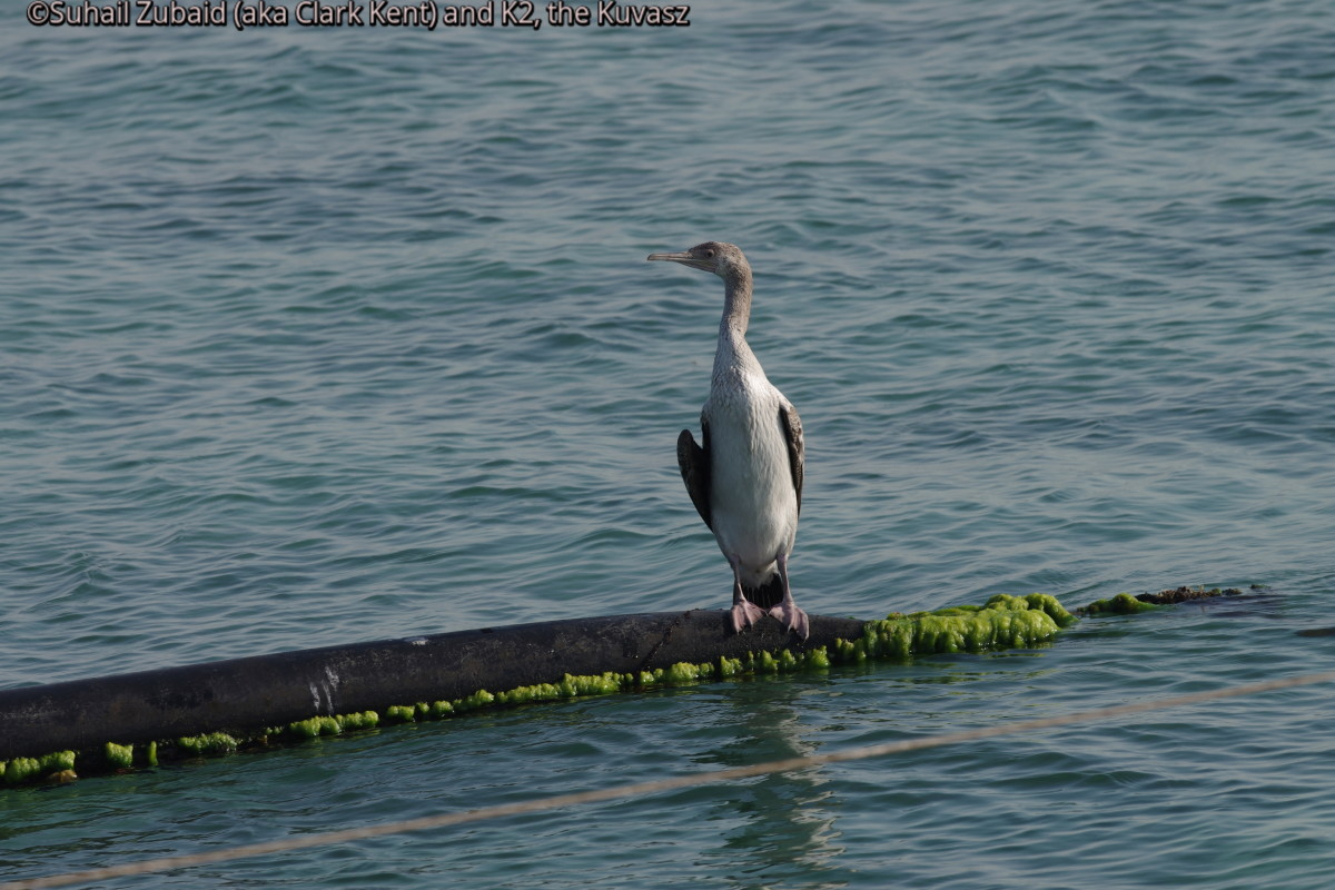 A rare Socotra Cormorant looking for fish (April 2016).