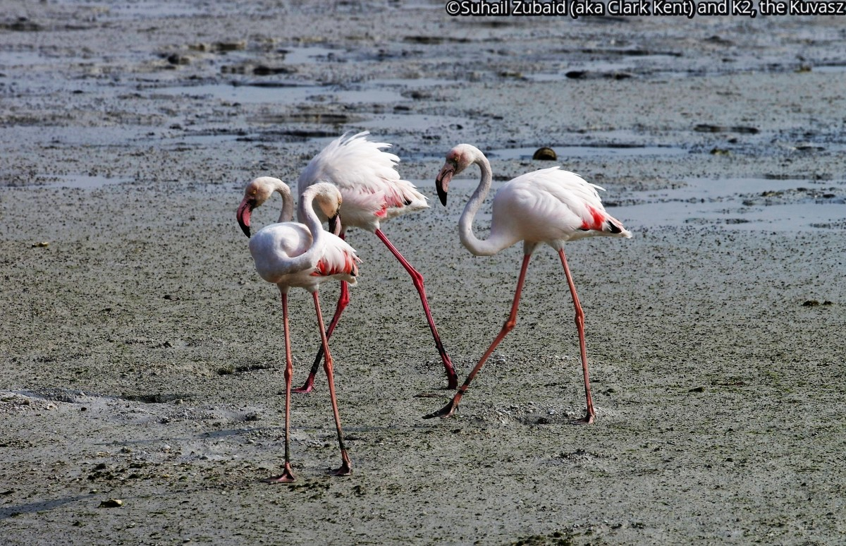 Dancing flamingos (December 2015).