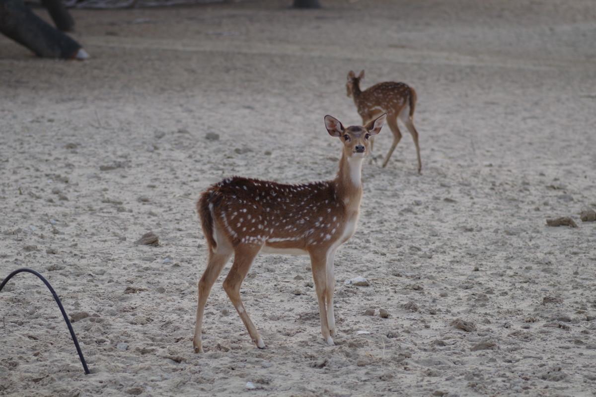 Axis deer (January 2016)!
