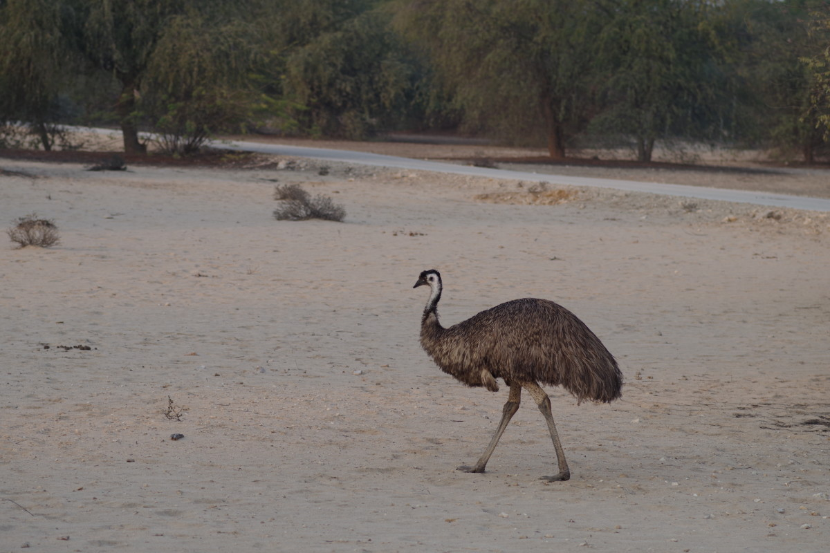 Emu from Australia (January 2016).