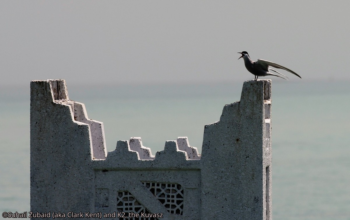 Common tern perching over historical structure now submerged in the gulf waters (April 2016).