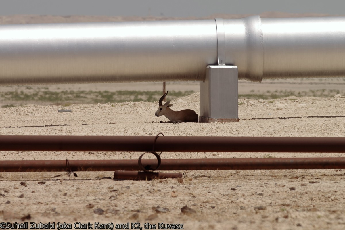 Rhim gazelle (male) resting under the shade provided by the oil pipeline running through the scorching desert (April 2016).