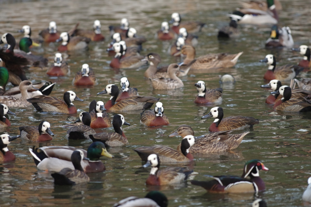 Few ponds had ducks by the hundreds (January 2016).