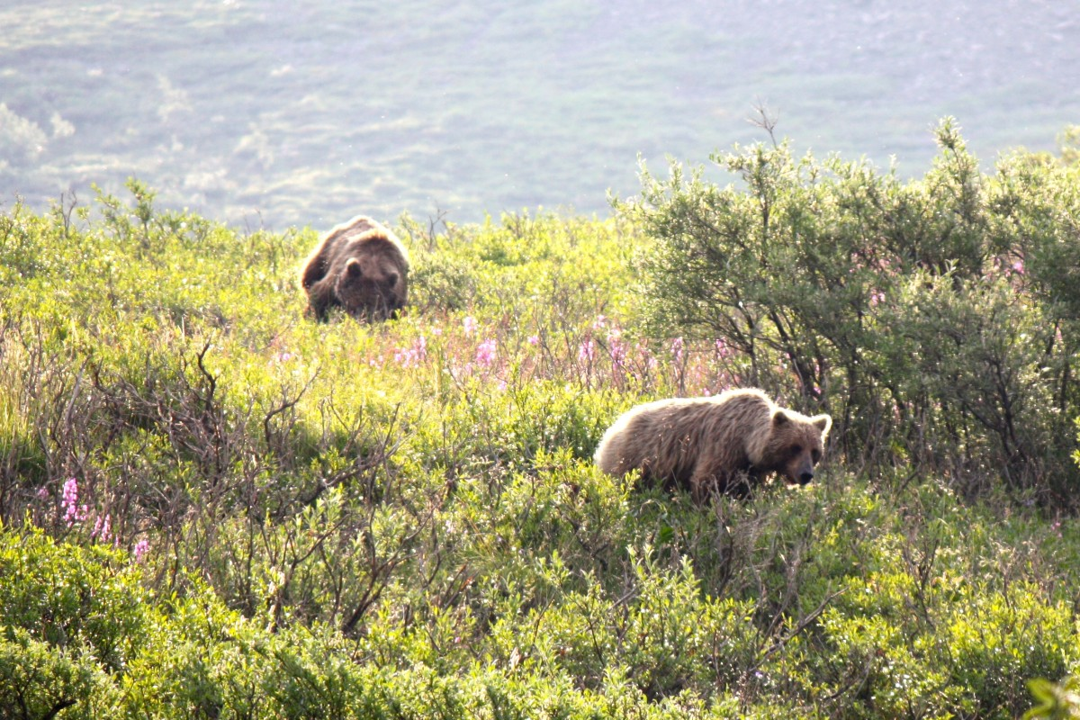 Brown bears in Denali National Park