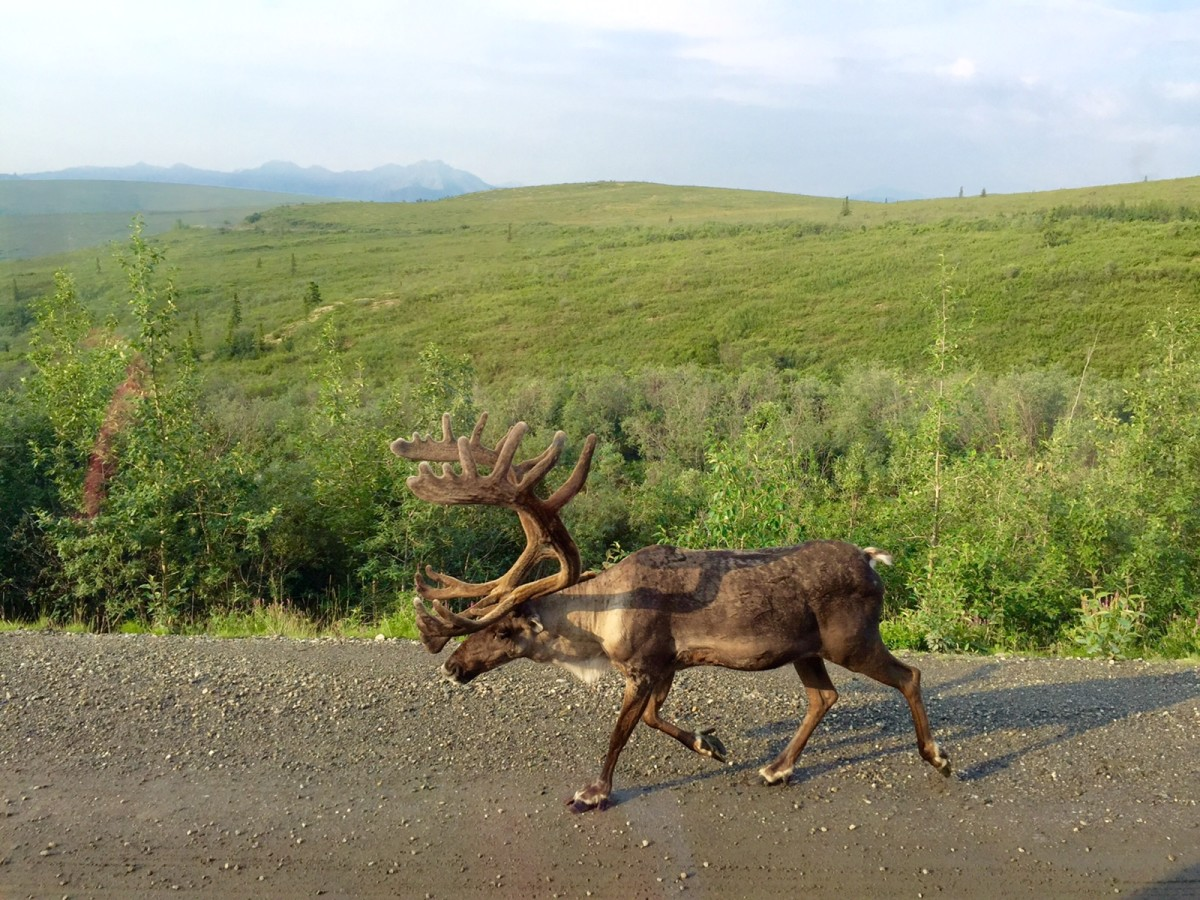 Caribou that walked right by our bus!