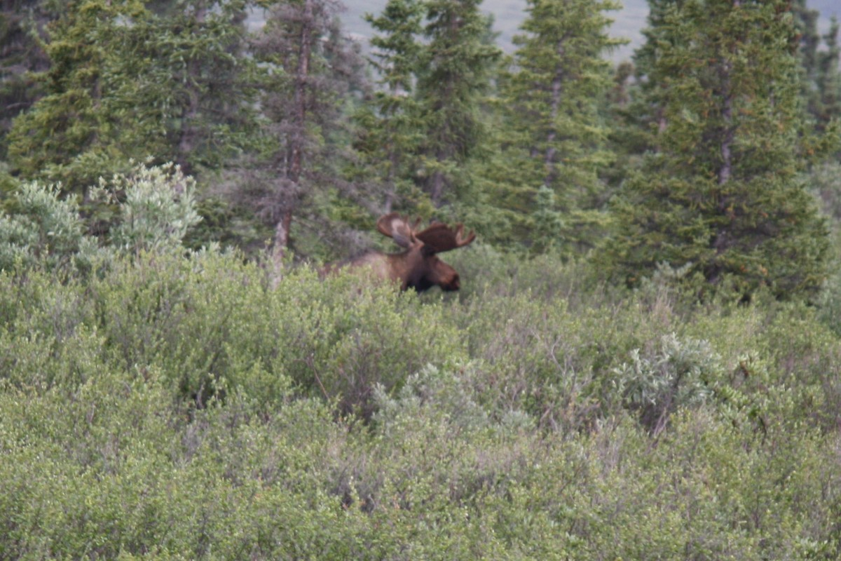 We got a glimpse of a moose from a distance from our bus.