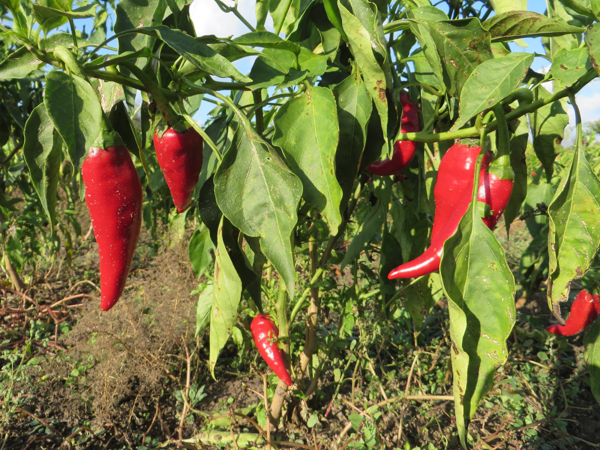 These red peppers are ground to make paprika