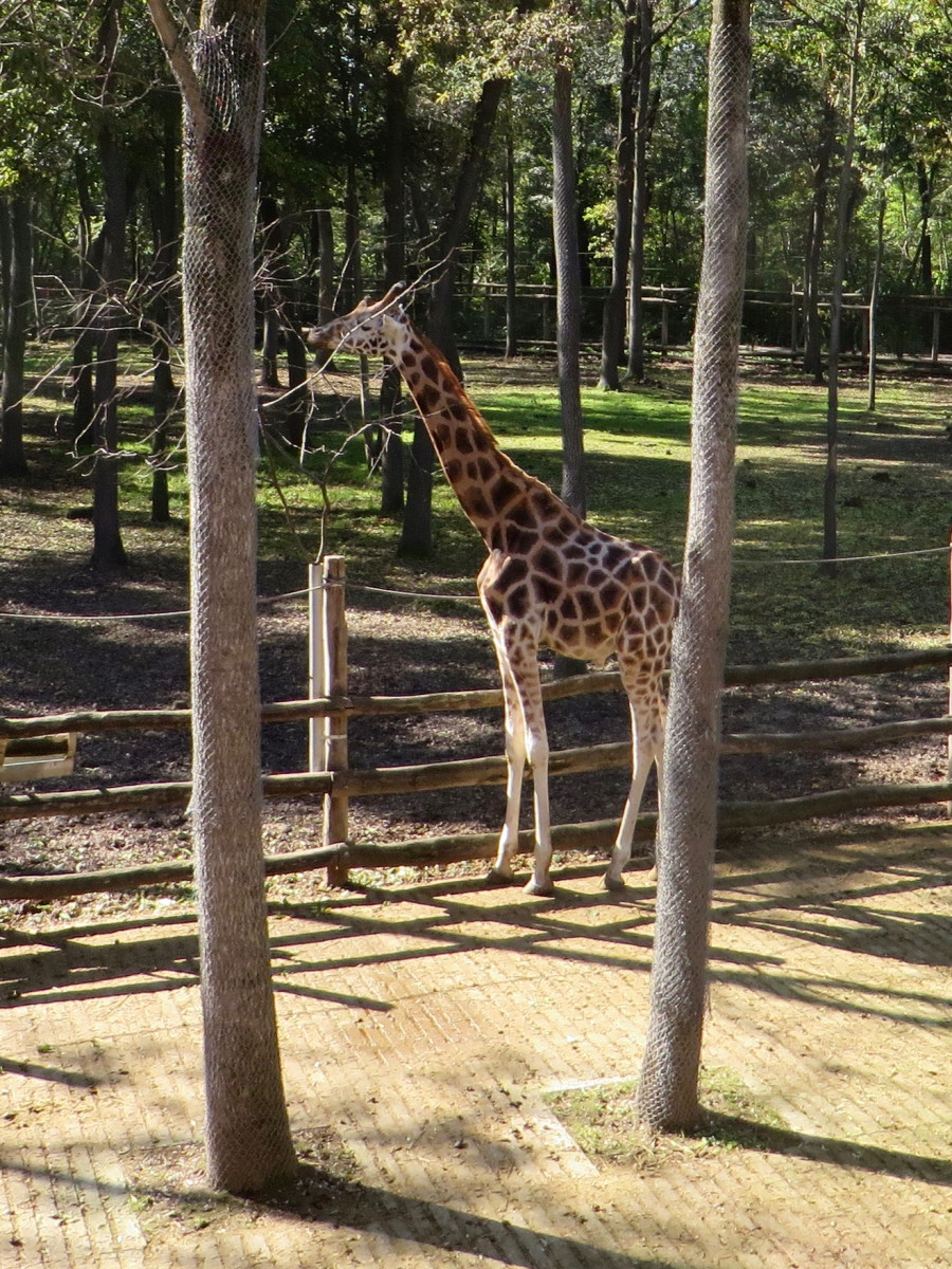 Giraffe at Szeged Zoo