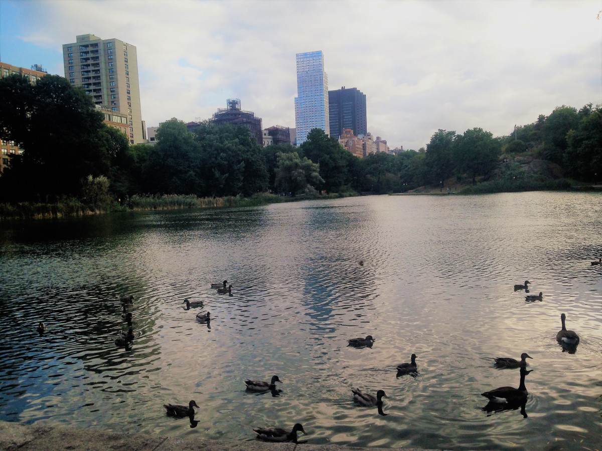One of the most relaxing, and free things to do in Central Park is watching ducks swim slowly by