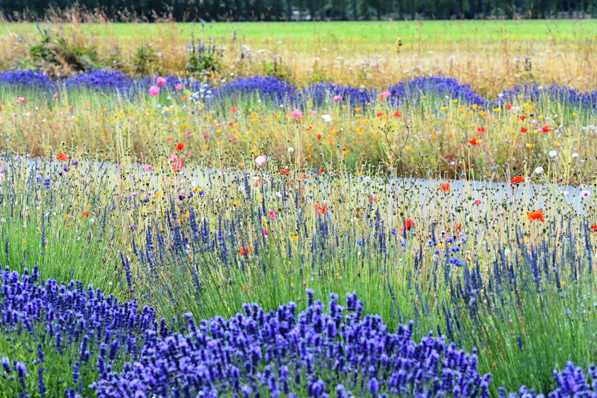 Washington Lavender Farm near Sequim Washington