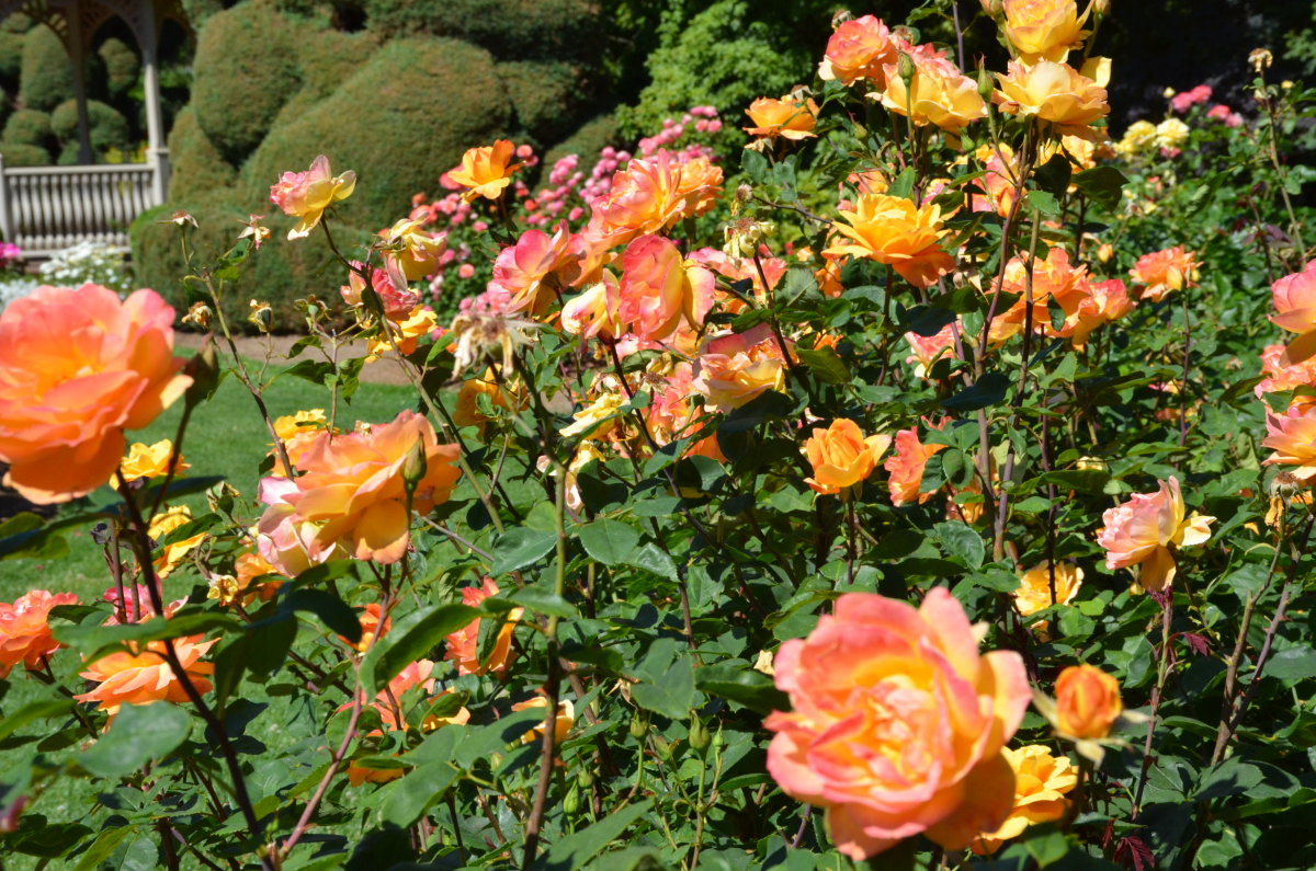 Woodland Rose Garden - Seattle