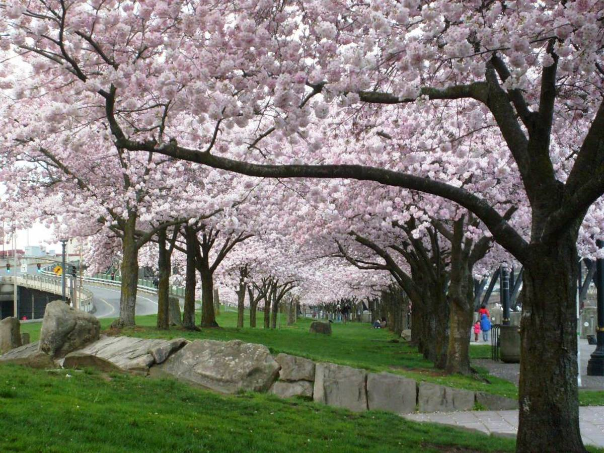 Cherry blossoms in Tom McCall Waterfront Park in Portland