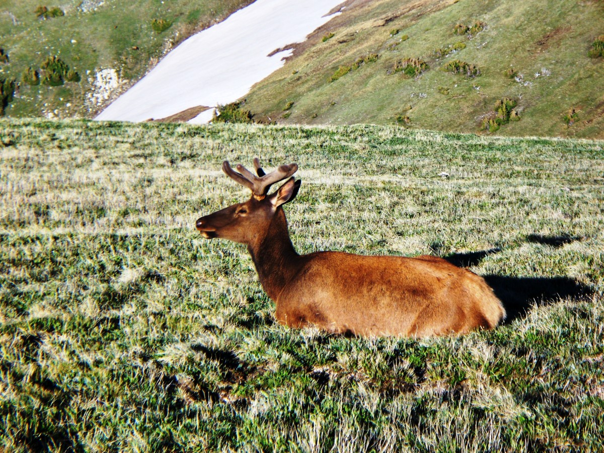 Elk near the Trail Ridge Road Summit in Rocky Mountain National Park