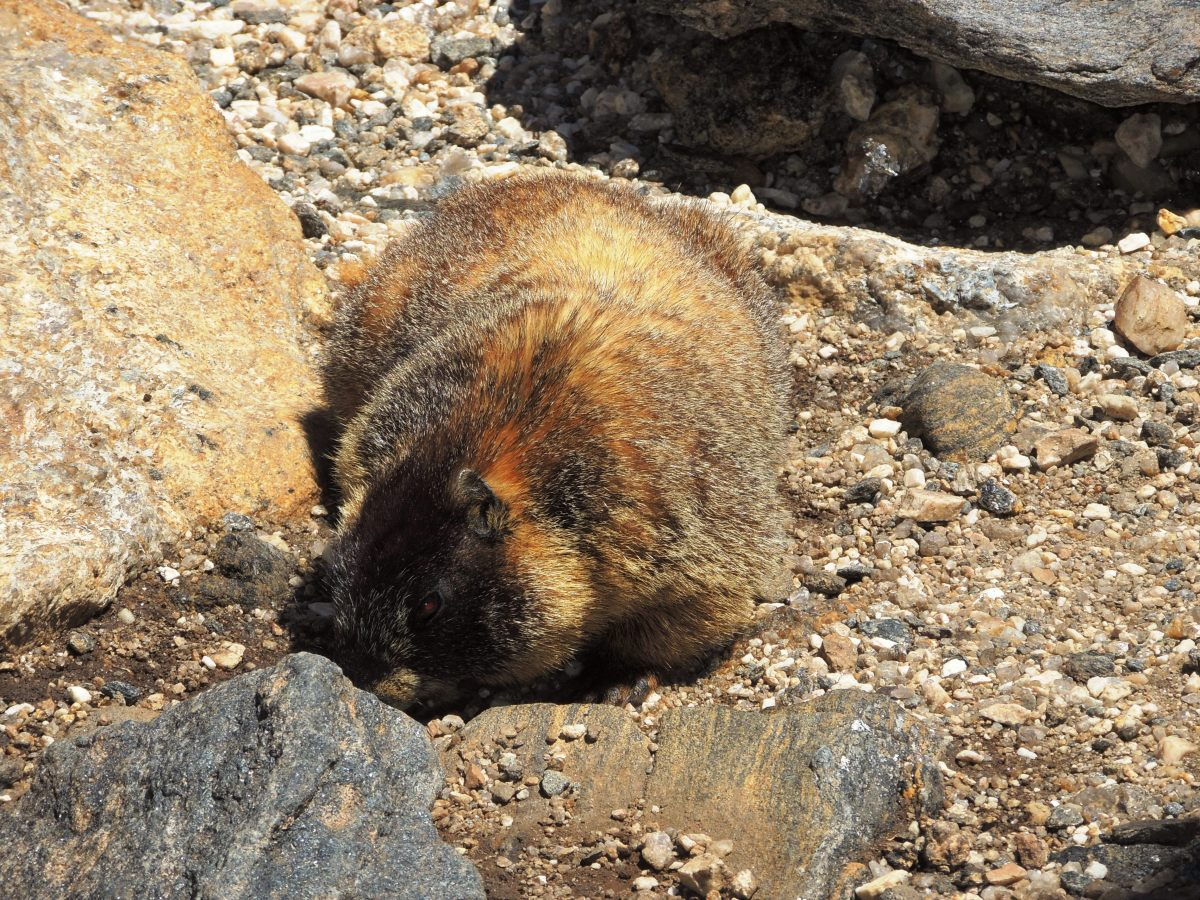 Marmot at the top of the Alpine Ridge Trail at the Alpine Visitor Center off of Trail Ridge Road in Rocky Mountain National Park
