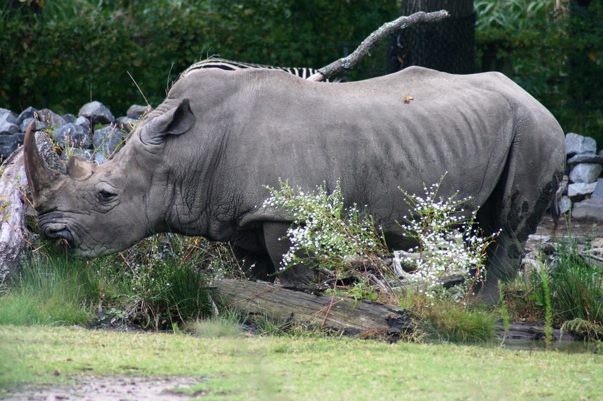 Rhino at the Virginia Zoological Park in Norfolk, VA