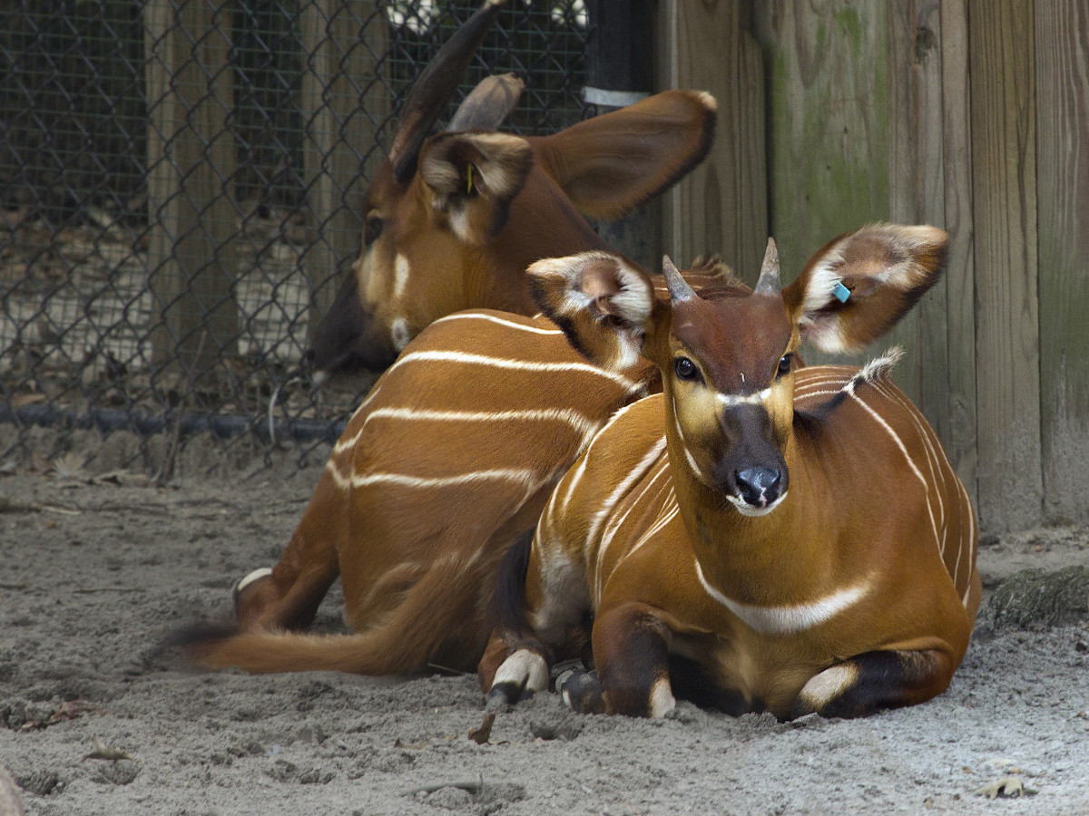 Bongo antelope at the Virginia Zoological Park in Norfolk, VA