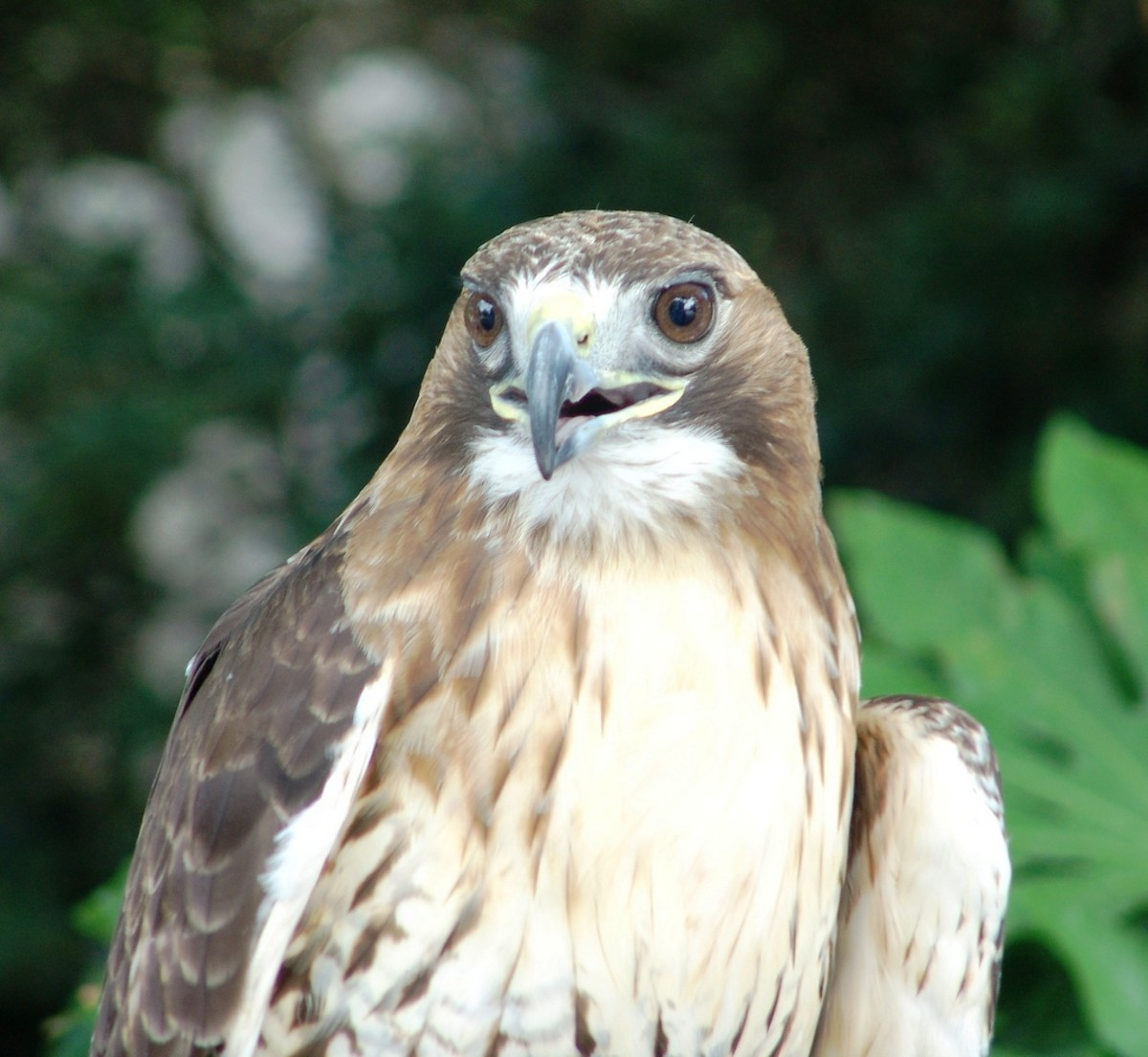 Red-Tailed Hawk at the Virginia Zoological Park in Norfolk, VA