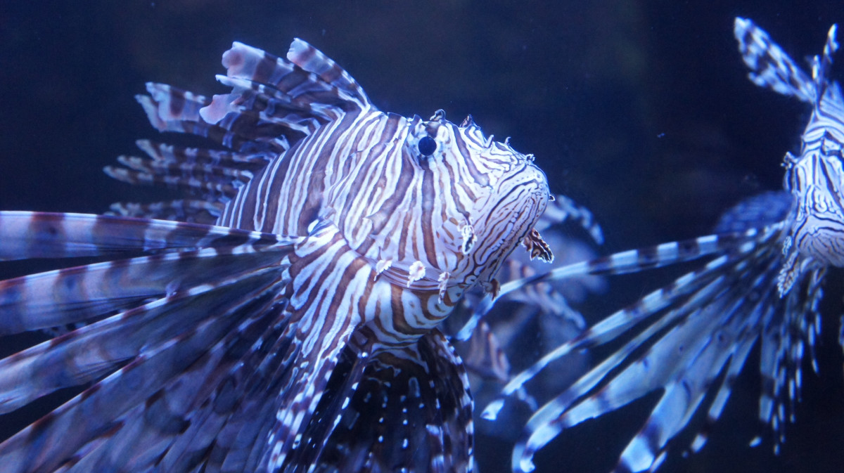 Lionfish at the Naval Musuem Nauticus Lobby in the Saltwater Aquarium in Norfolk, VA