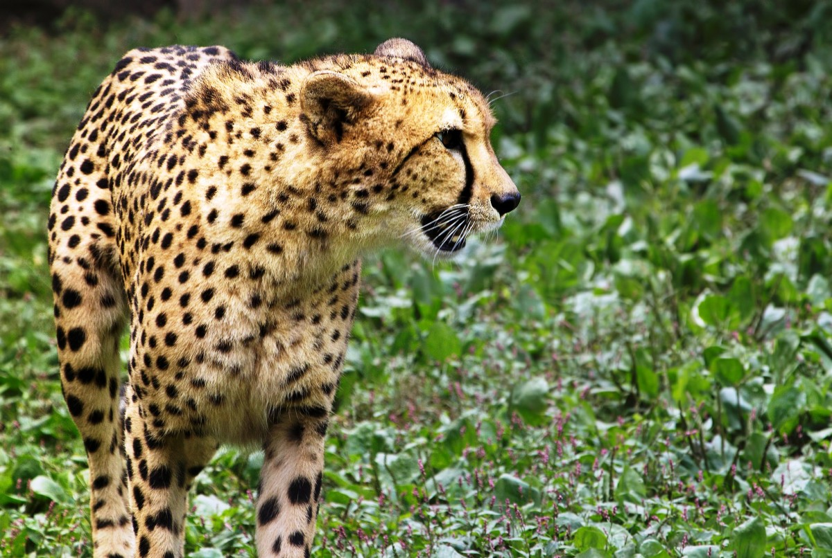 Cheetah at the Virginia Zoological Park in Norfolk, VA
