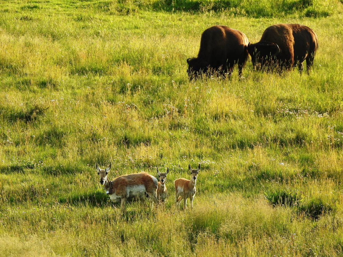 Pronghorns and Bison in Lamar Valley in Yellowstone National Park