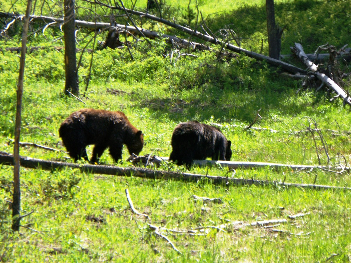 Black bears in Hayden Valley in Yellowstone National Park