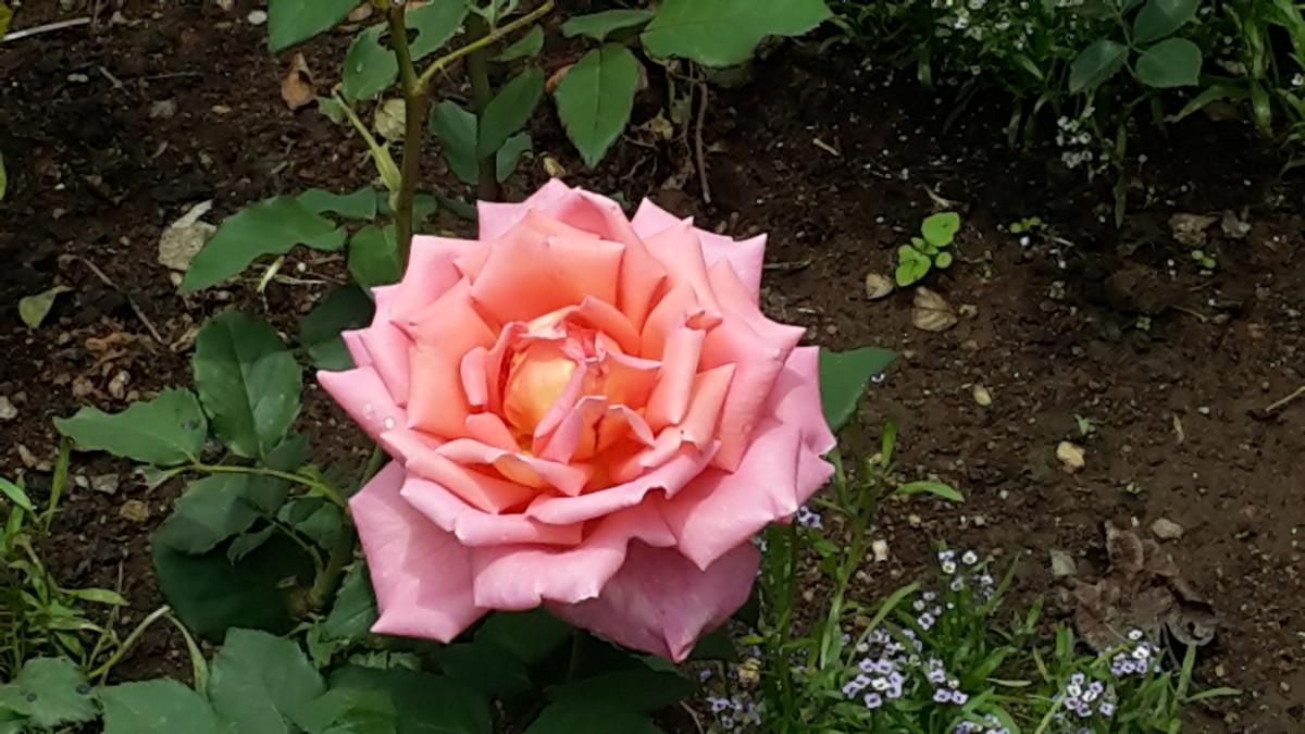 Pink rose at Rose Garden