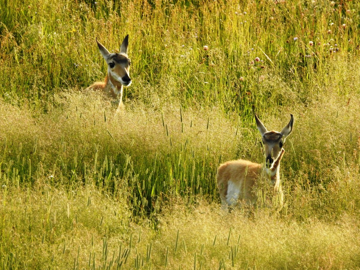 Pronghorns in Lamar Valley in Yellowstone National Park