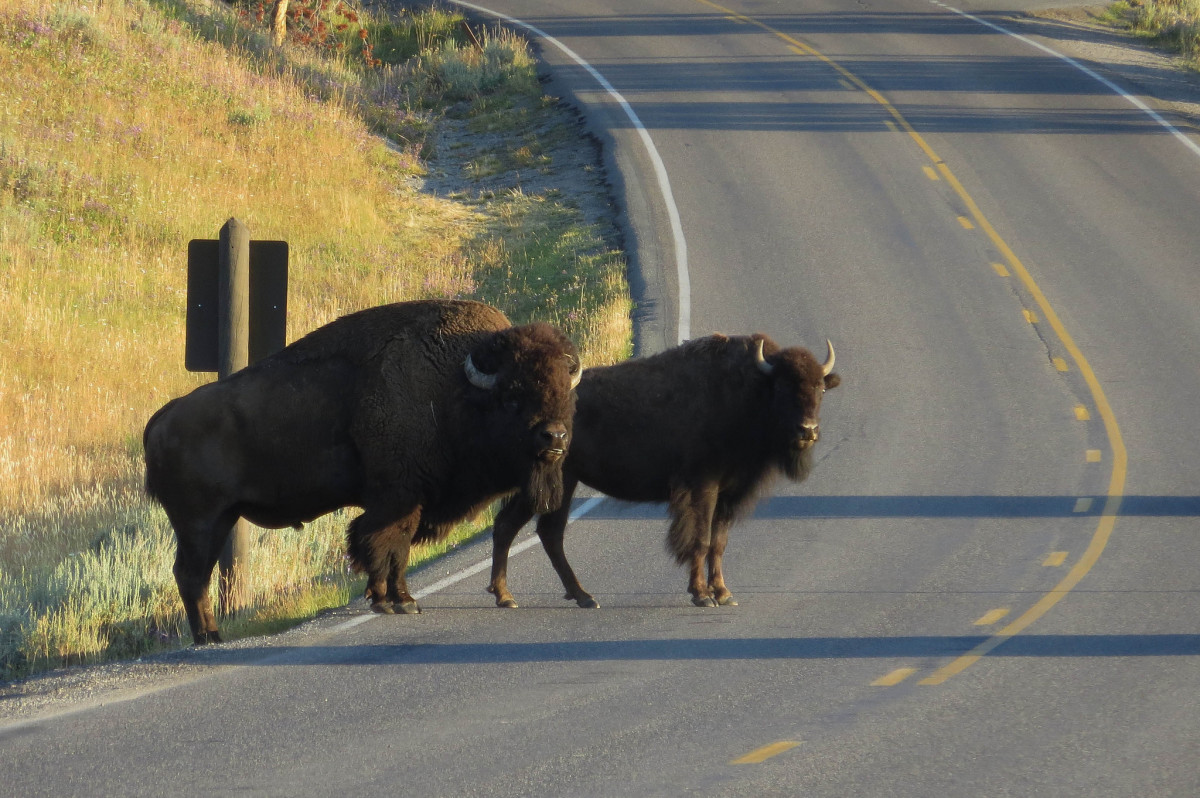 Bison in Hayden Valley in Yellowstone National Park