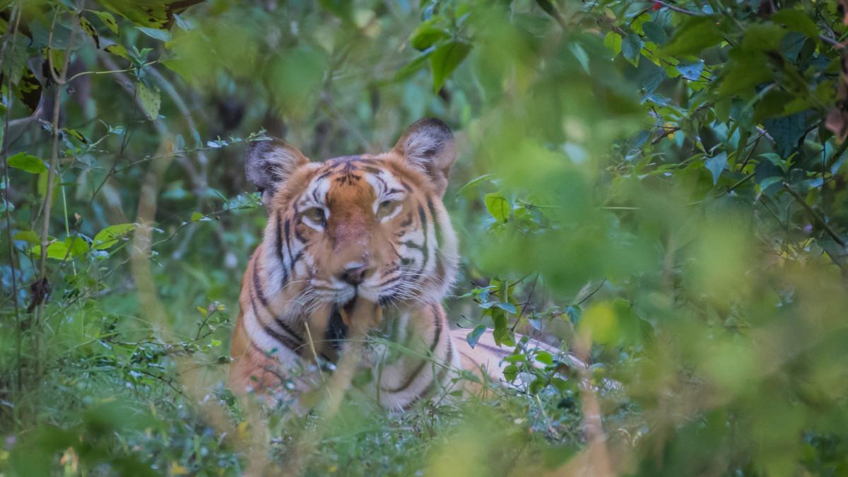 Tiger at Masinagudi