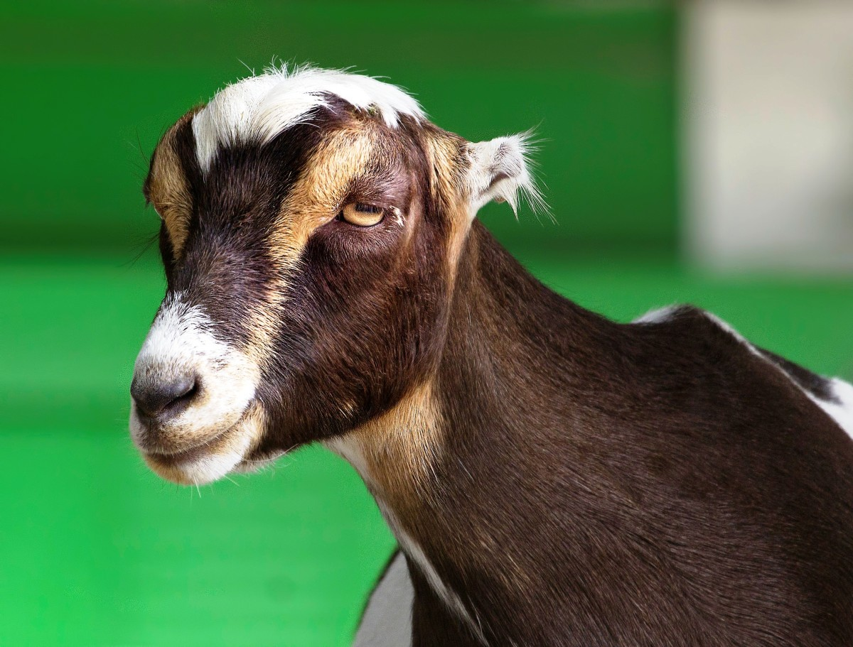 Goat at the Virginia Zoological Park in Norfolk, VA