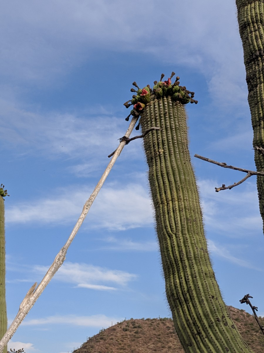 Close-up view of end of the long harvesting  pole attempting to snare ripe fruit from top of a 40-odd-foot Saguaro