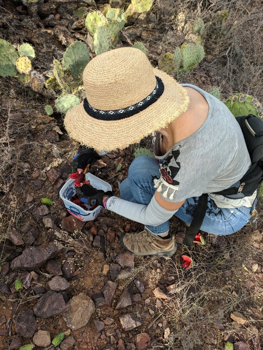 My wife scraping the saguaro's soft jelly-like fruit into our bucket.