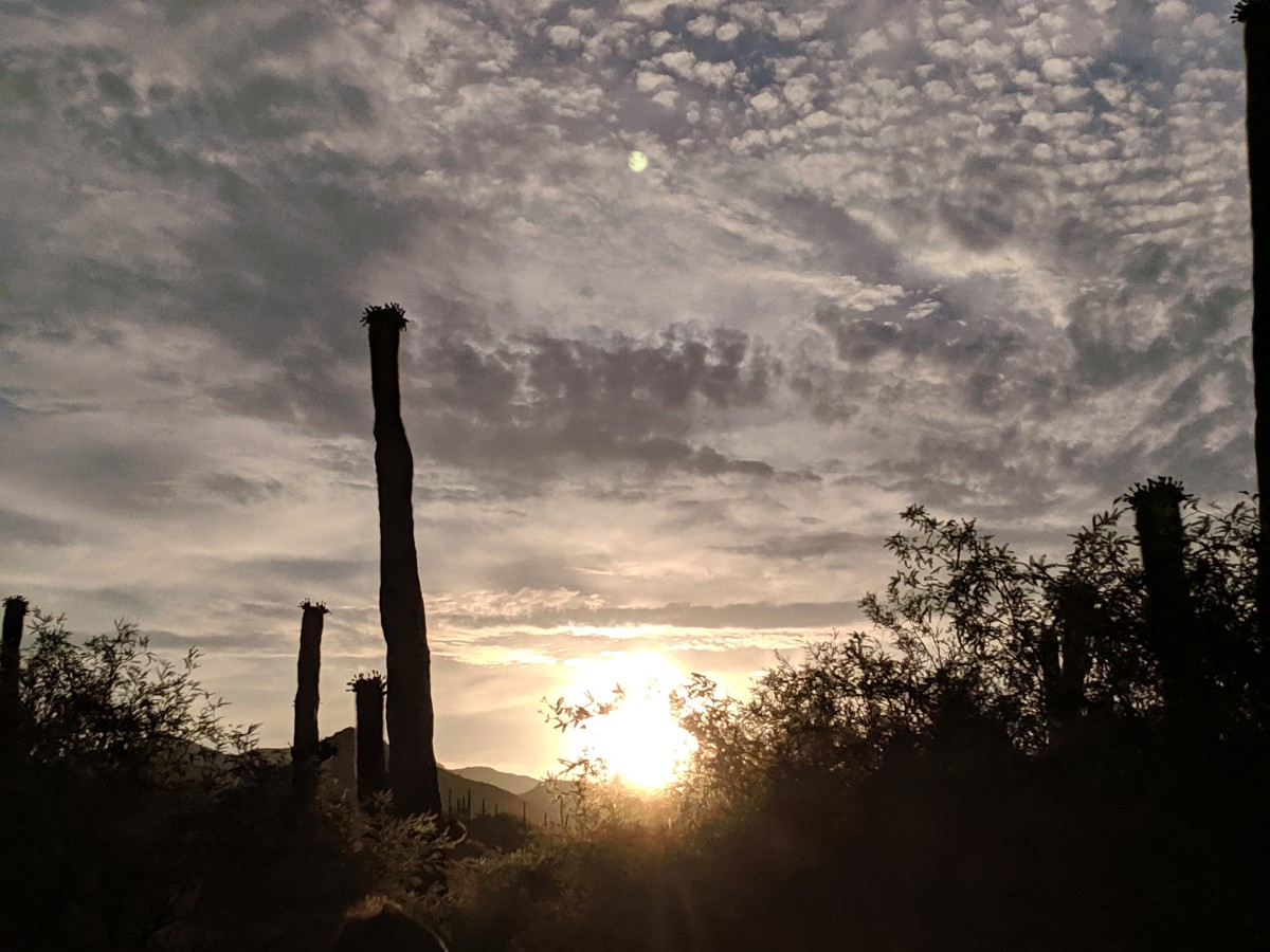Saguaro Cacti in Sonoran Desert as sun begins to rise