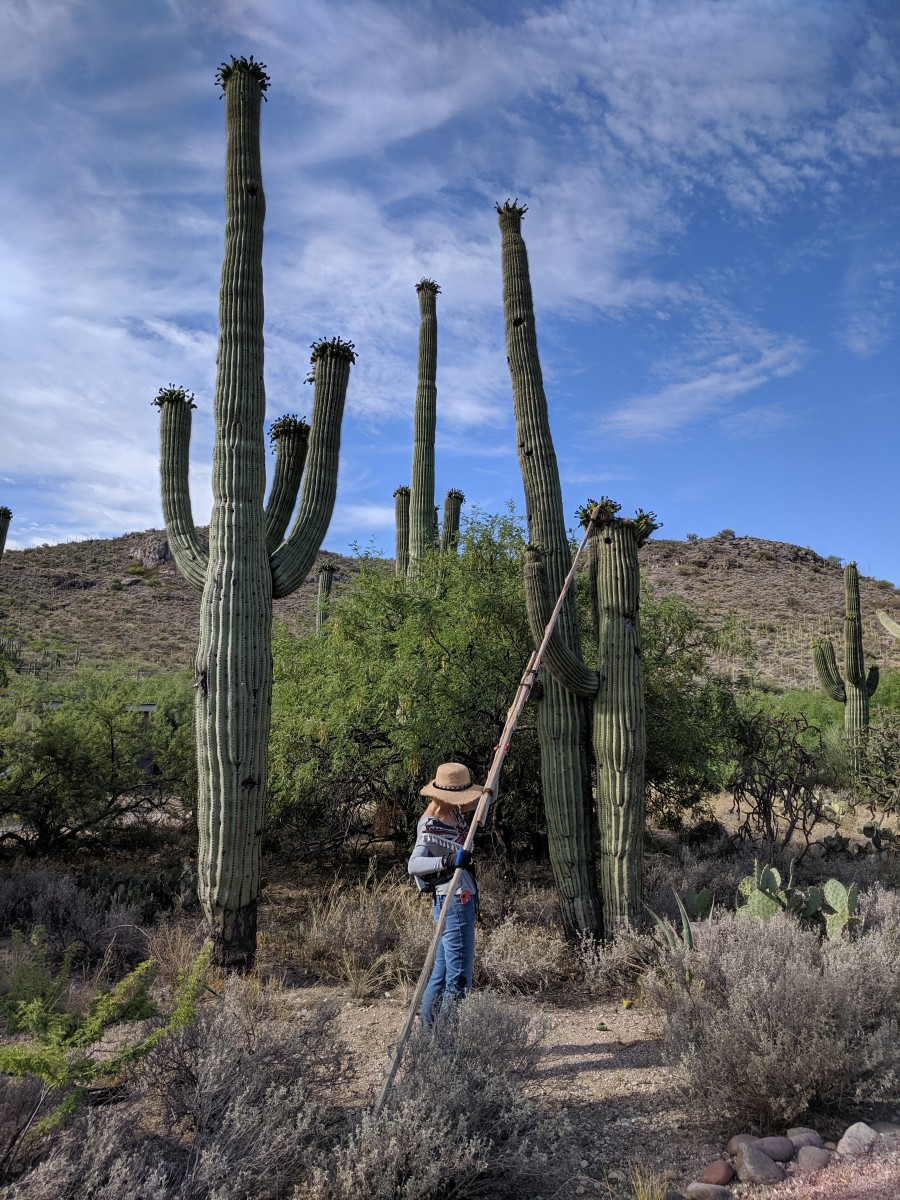 My wife in desert attempting to snag fruit from one of the smaller Saguaro (is a younger - about 50 years old - Saguaro about 15 to 18 feet high)