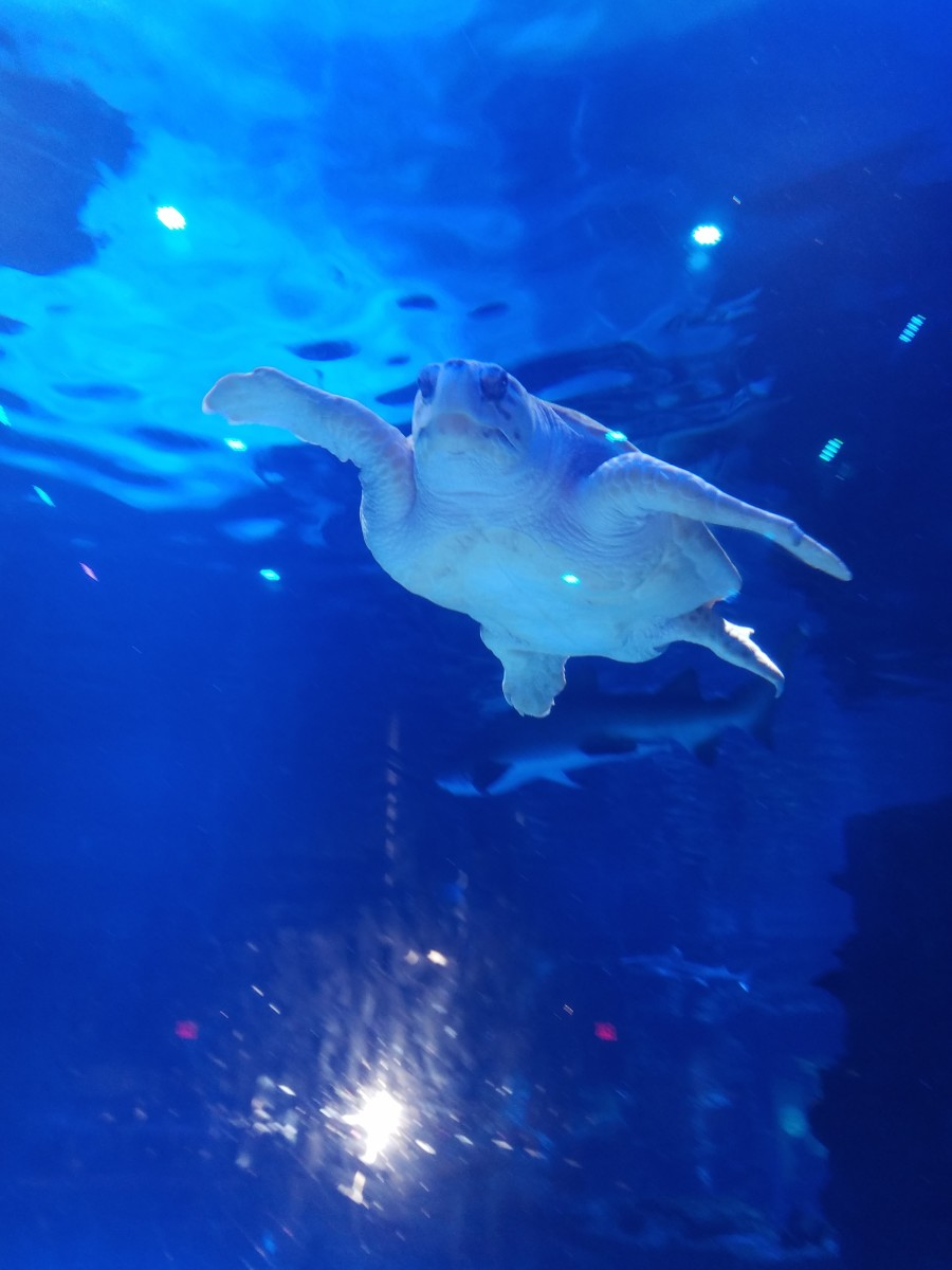 Weighing over 200 pounds, Denver seems like an easy-going turtle, but sharks know not to make him mad!