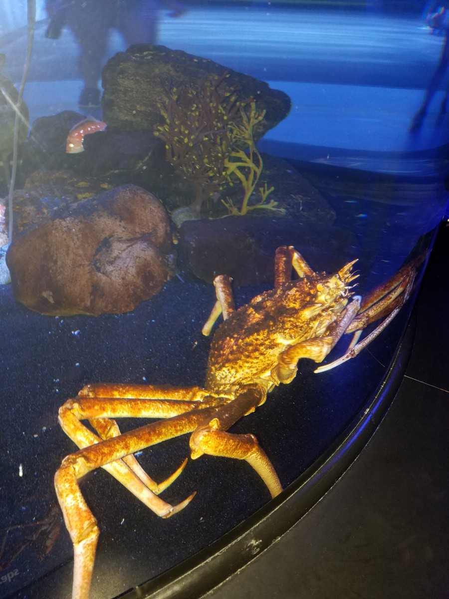 Sorry about the bright light, Mr. Japanese Spider Crab.  My bad!