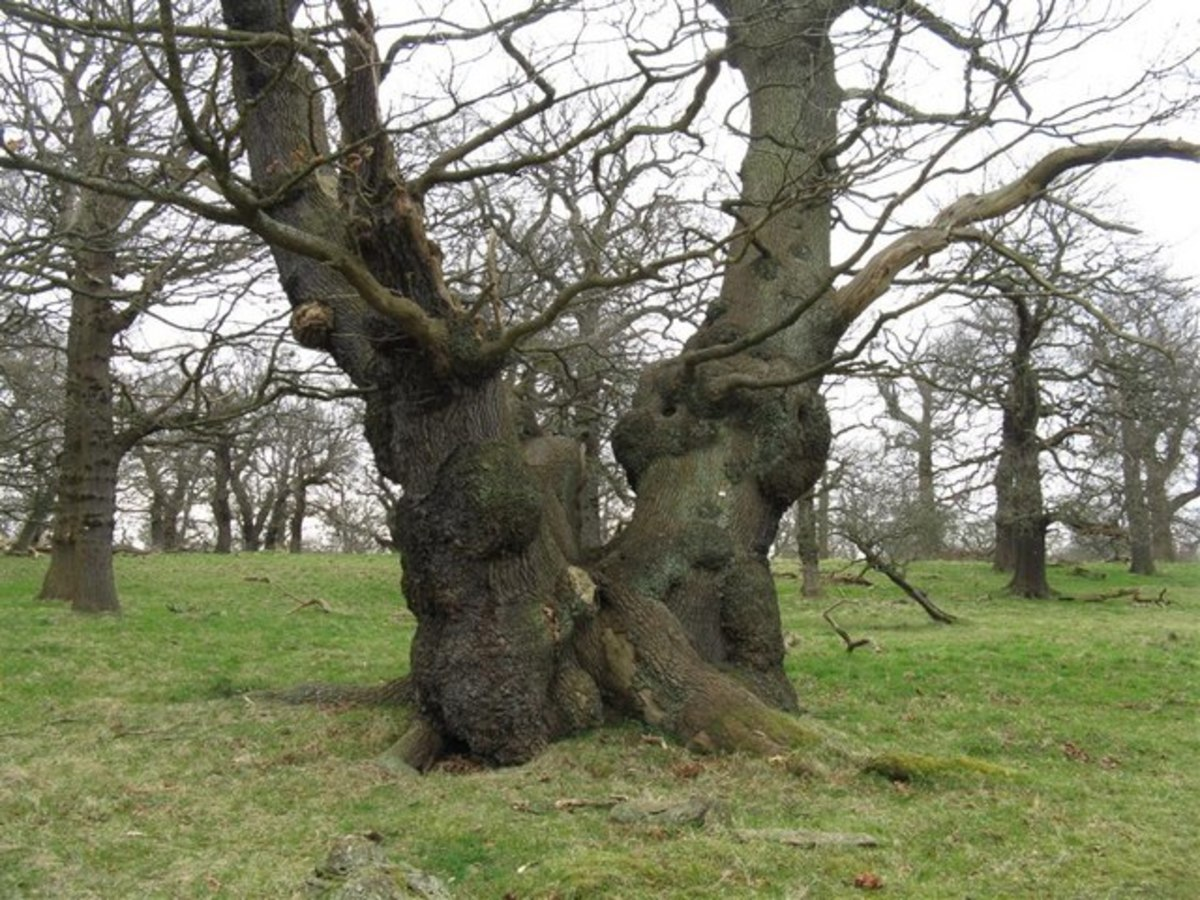 Old oak trees in Dalkeith Country Park.