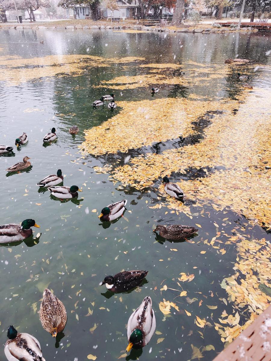 Ducks in Fairmont Park, Utah