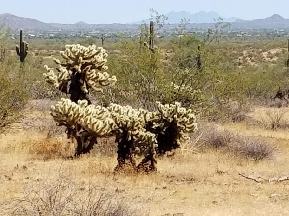 Teddy bear cactus.