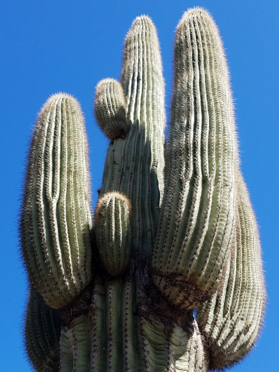 Giant Saguaro cactus.