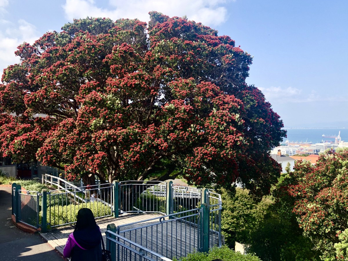 The beautiful Pōhutukawa are only in bloom for such a short period over Christmas, hence the moniker 'NZ Christmas Tree'. They are actually native to the North Island but are found in the South Island as well.