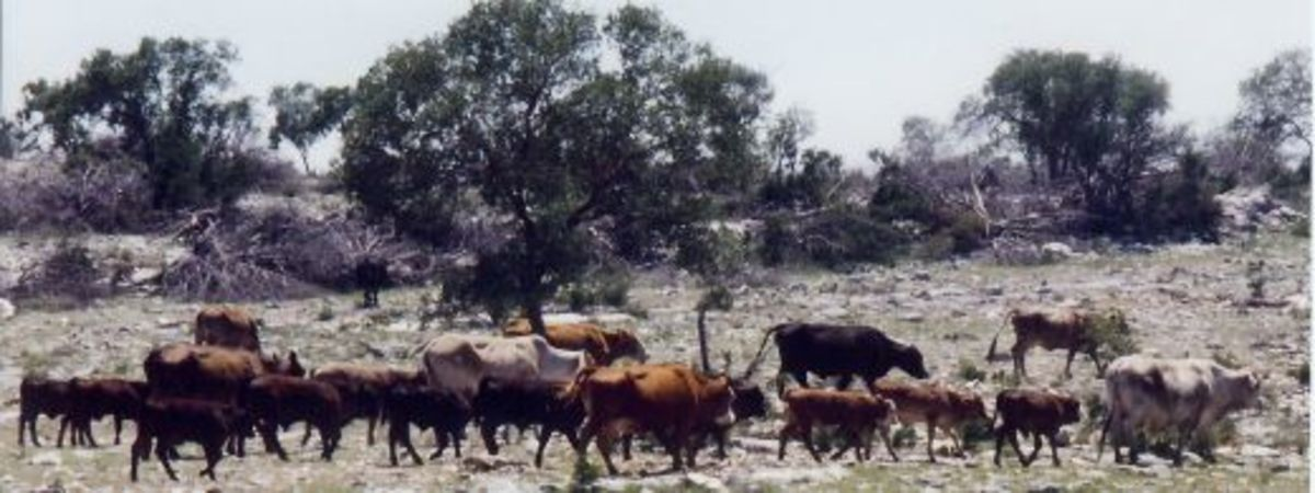 Cattle grazing above ground at the Caverns of Sonora.
