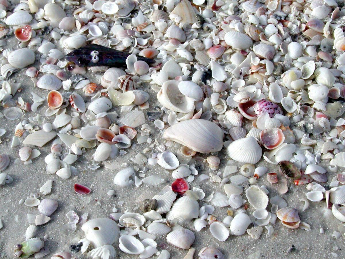 Sea Shells on Marco Island, Florida