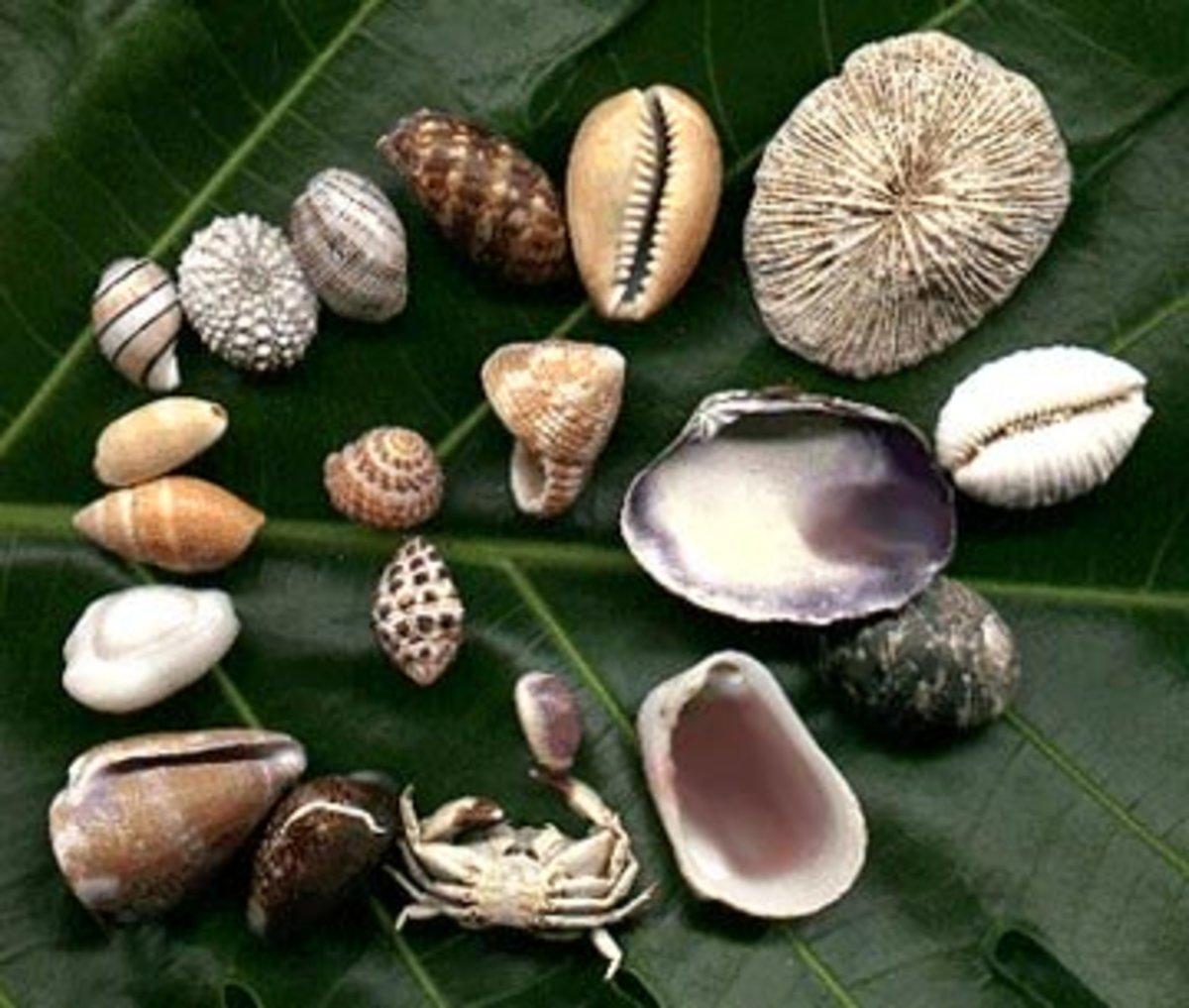 Sea Shells collected on Waikiki Beach, Oahu Hawaii