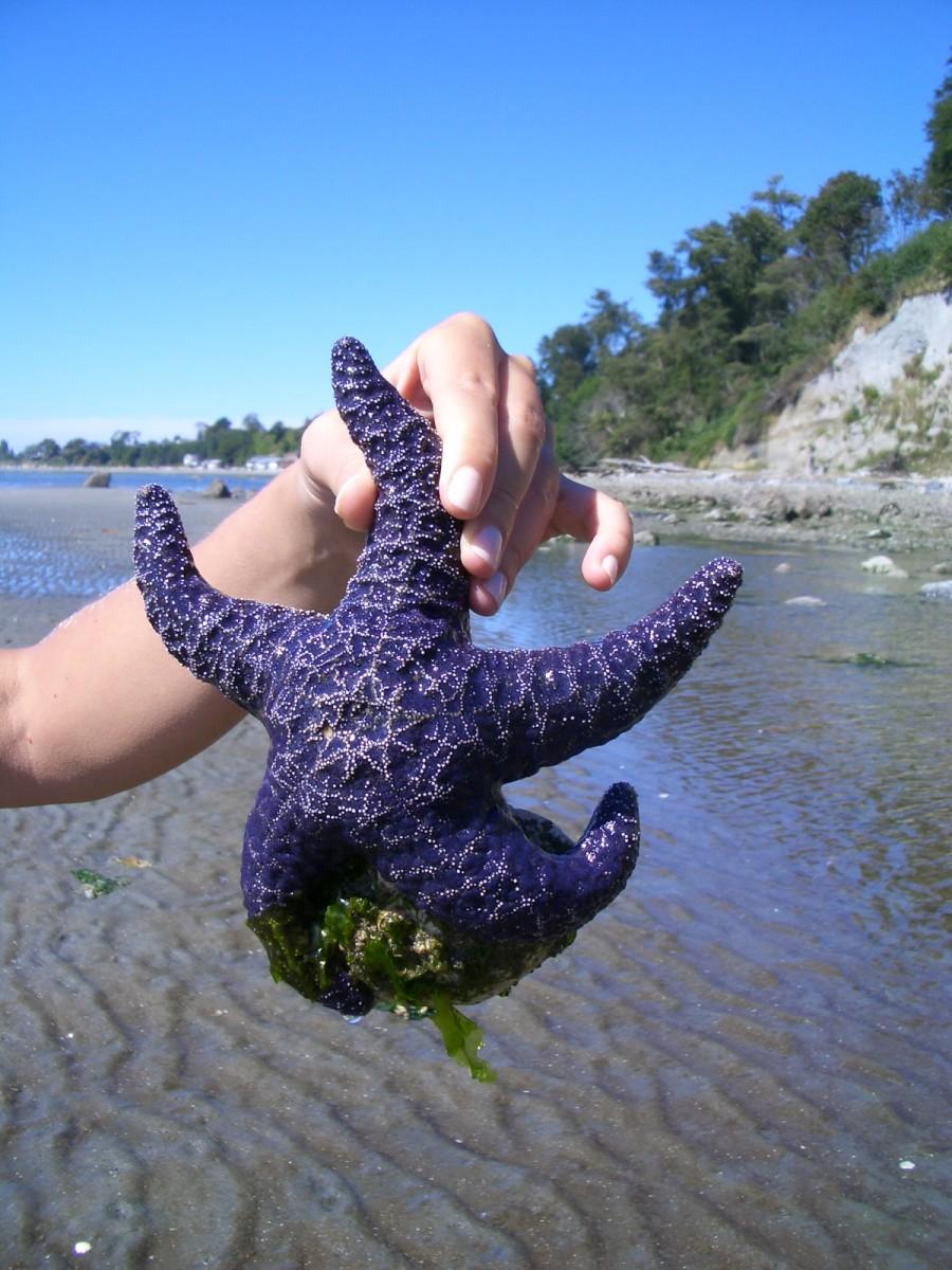 Star Fish, Point Roberts Washington